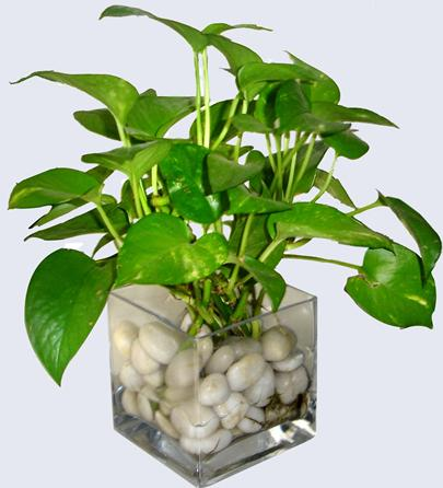 Water money plant indoor plants home plants water plants