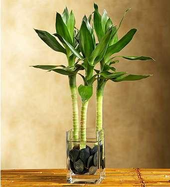 5 beautiful indoor water plants - Bambu cuidados en maceta ...